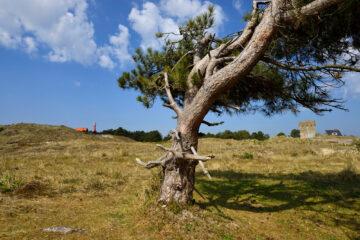 Enkele naaldboom in het open duinlandschap van de Grafelijkheidsduinen bij Den Helder door Ronald van Wijk