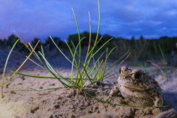 Rugstreeppad in de duinen door Nico van Kappel