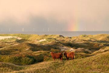 Schotse hooglanders op duintop tijdens zonsopkomst in Noordhollands Duinreservaat bij Egmond door Ronald van Wijk