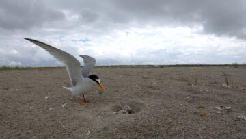 Dwergstern bij nest door Johan Krol